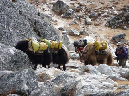 Yak Yak Yak - photo courtesy of Nature Treks