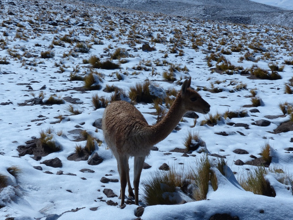 Vicuna (very up close and personal)