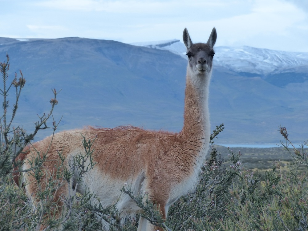 Guanaco!  (click to see Ostrich)