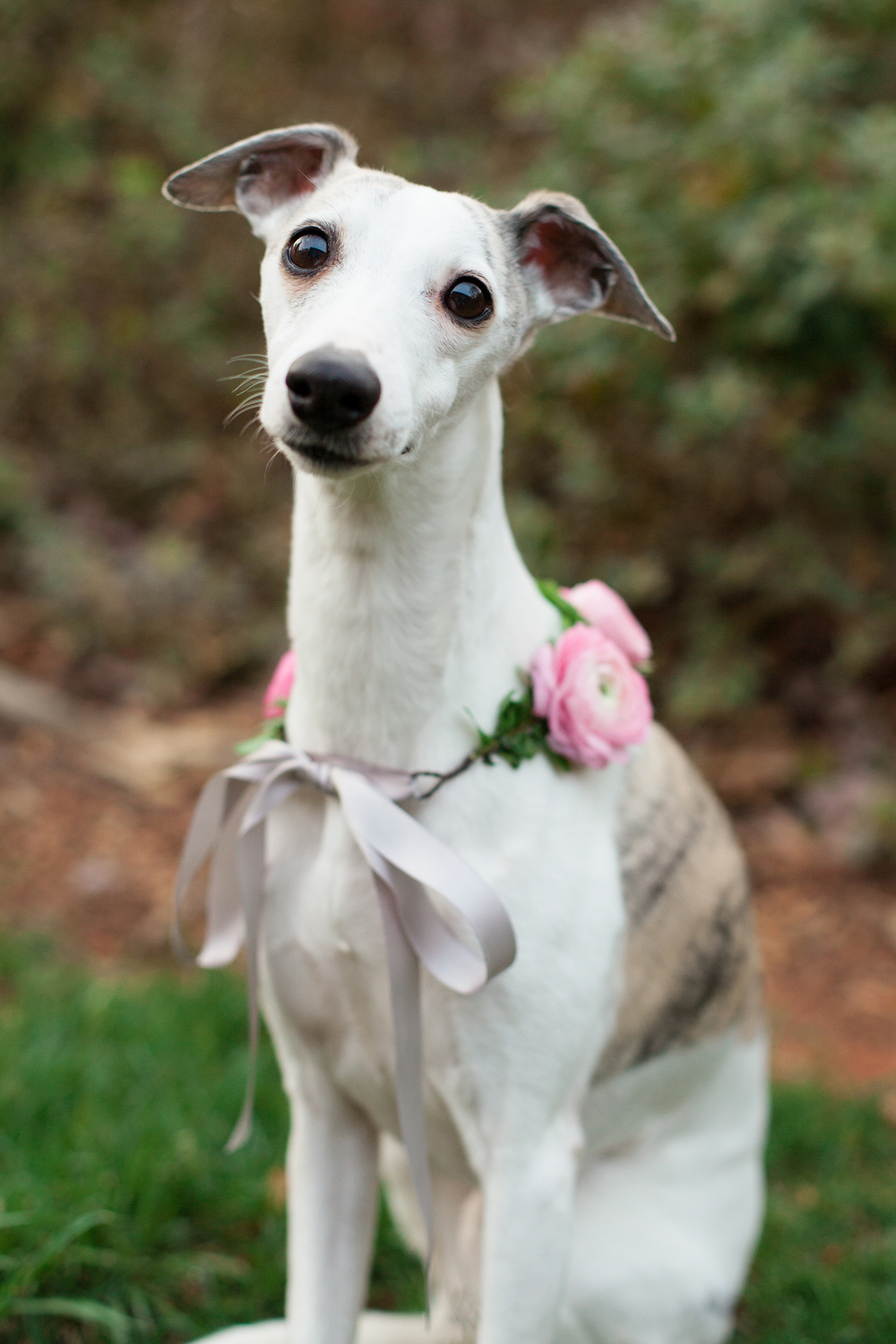 Whippet Puppy in a Light Pink Floral Collar