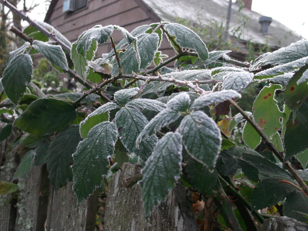 Frost on blackberry brambles, looking festive.