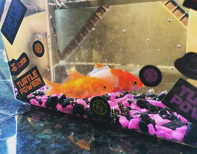 I won fishes today at the NC State Fair (with that beer pong type game)! Meet Nobu & Sono.