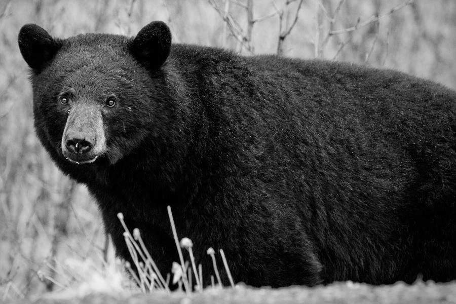 Black bear. Stewart-Cassiar Highway.