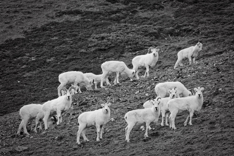 Mountain Goats. Alaska Highway.