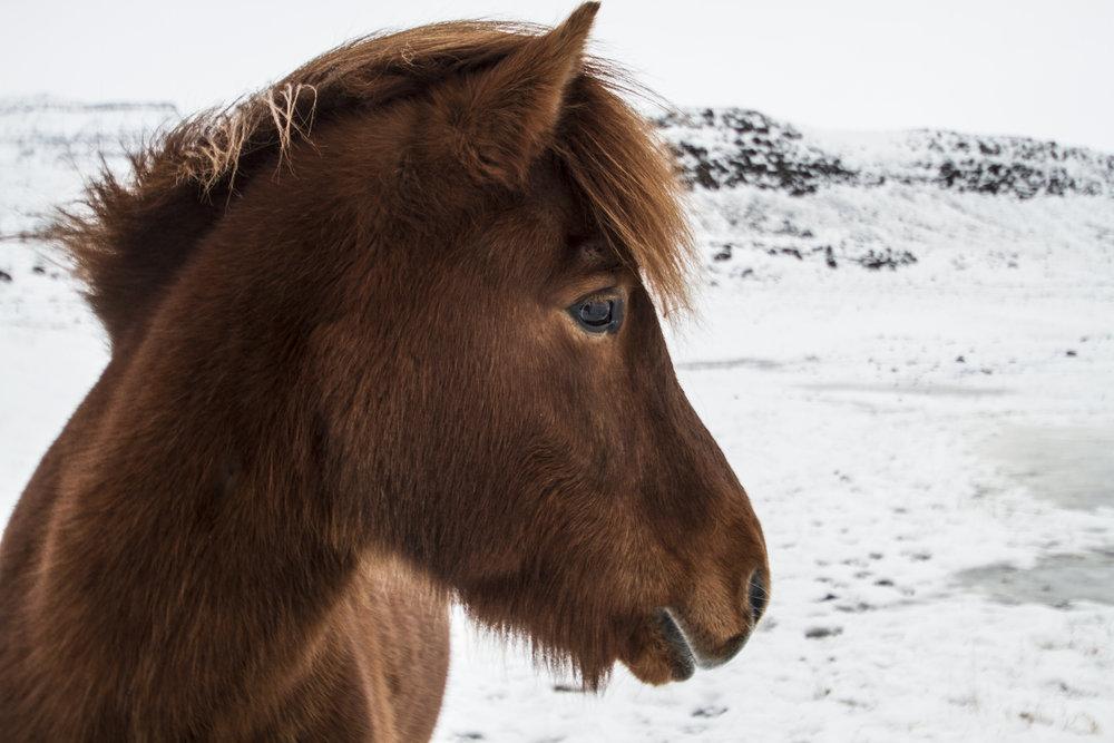 Icelandic Horses 6.jpg