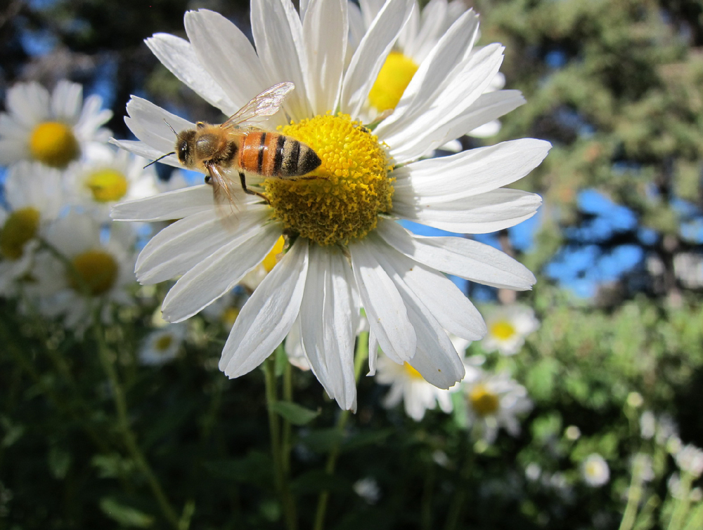 Honey Bee on White Daisy