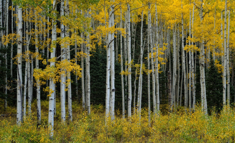 ©Doug Bennett Photography - Aspens