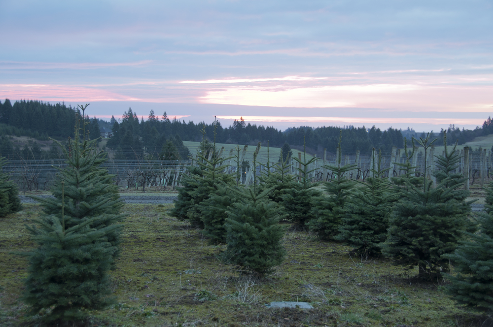 Noble Fir Trees  (limited selection this year)