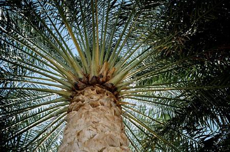 02a al Ayn date palm.jpg