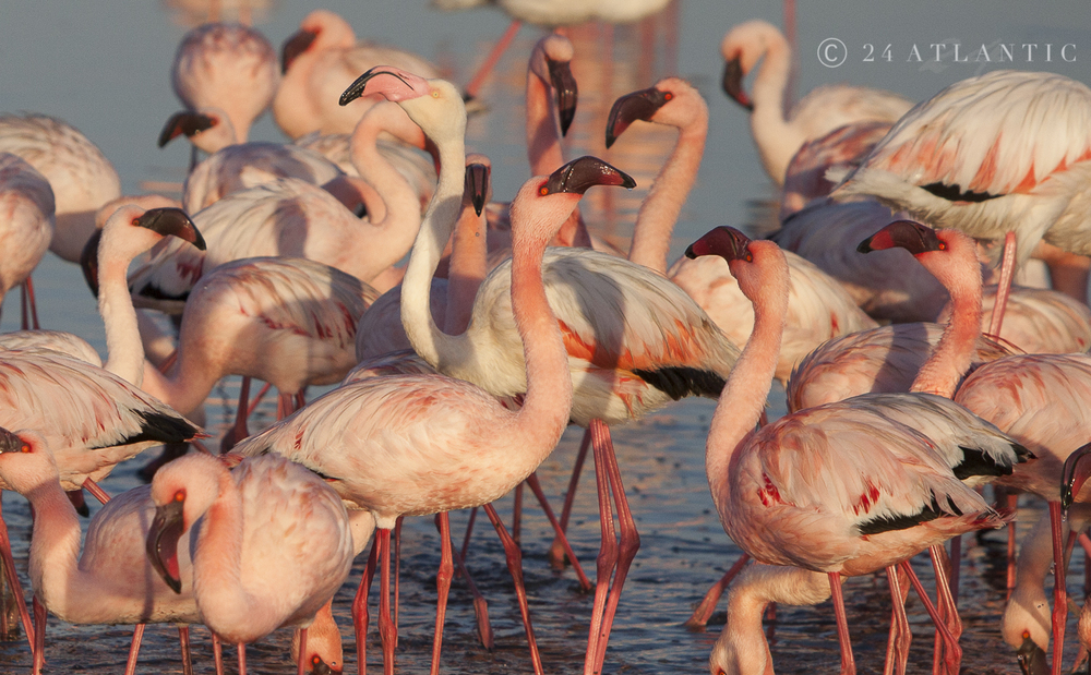 Flamingo Mania.  Walvis Bay