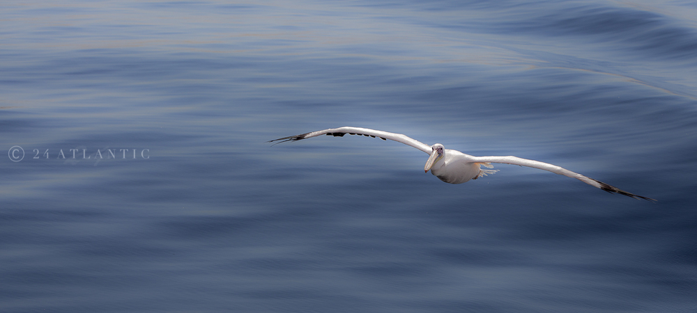 Pelican coming in to land - Walvis Bay, Namibia.