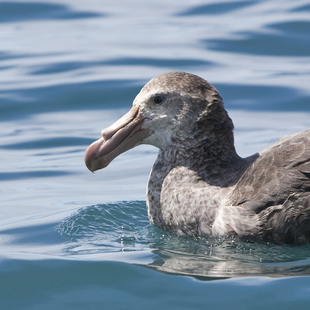 Making Bubbles   © 24 Atlantic 2014  Northern Giant Petrel