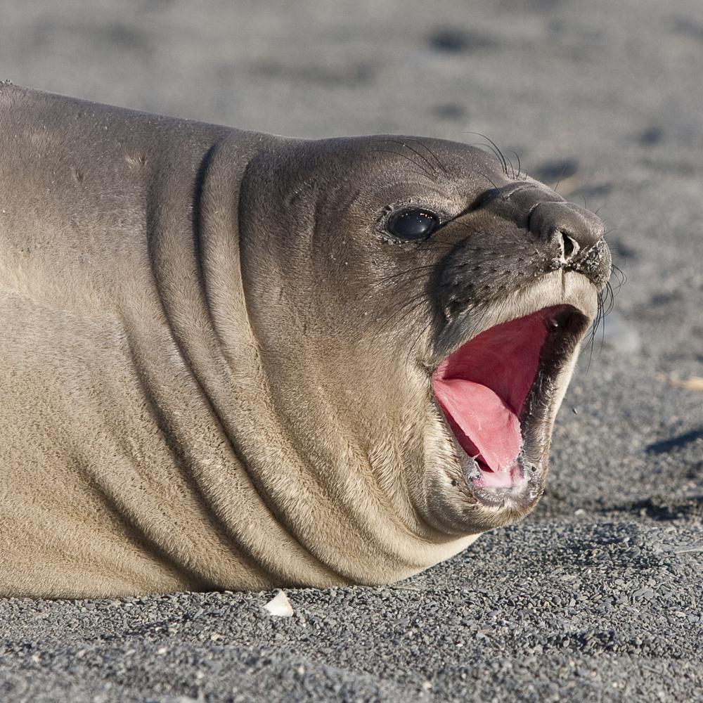 Say Aaaah © 24 Atlantic 2014  Elephant Seal