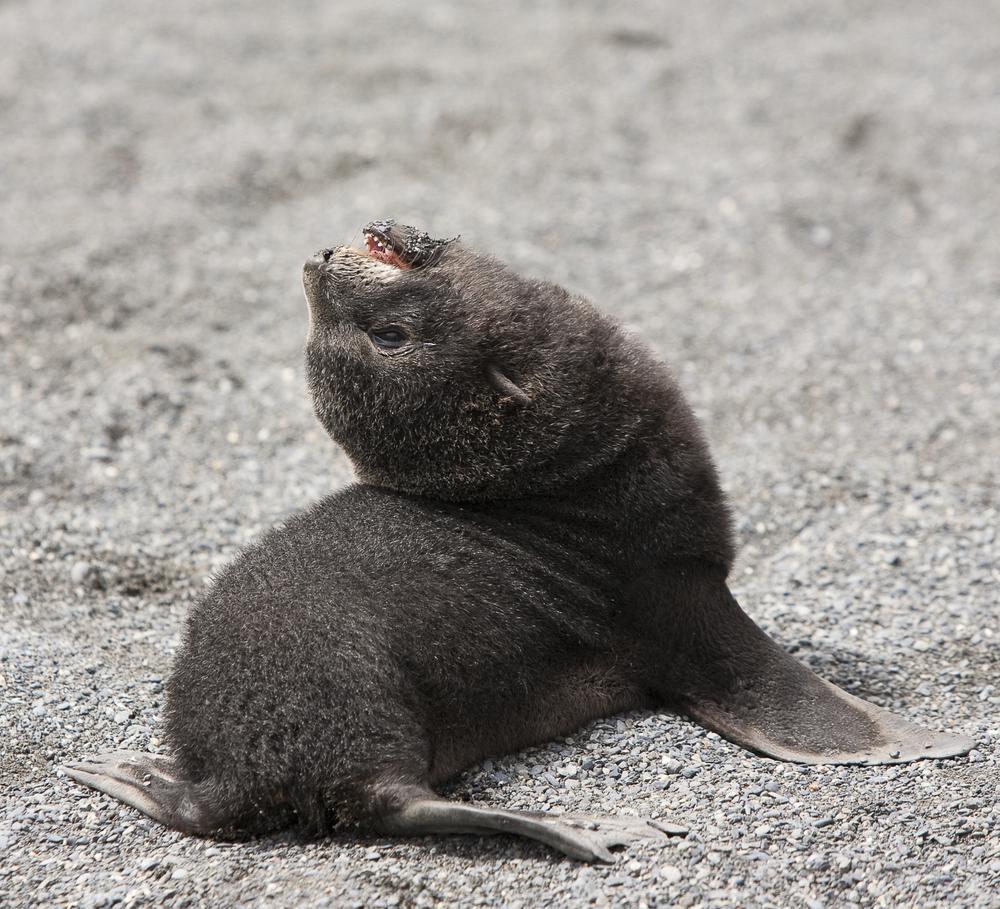 Where's my Ma © 24 Atlantic 2014  Fur Seal pup.