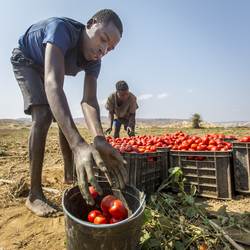 Rich, red, and ripe tomato harvests from Carujumba.  Namibe Provence ©24Atlantic