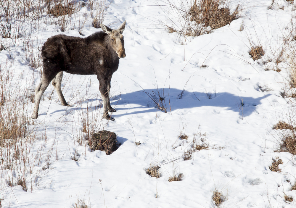 "A Moose, photographed from a helicopter during the annual ""Moose count"" for the state of Maine."