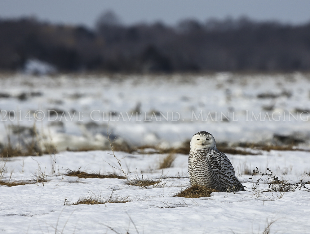 A distant Snowy Owl at Parker River National Wildlife Refuge.
