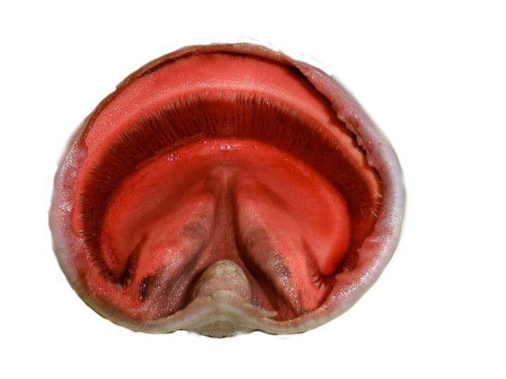 Figur 2. Inside of the hoof of a horse, showing the laminae