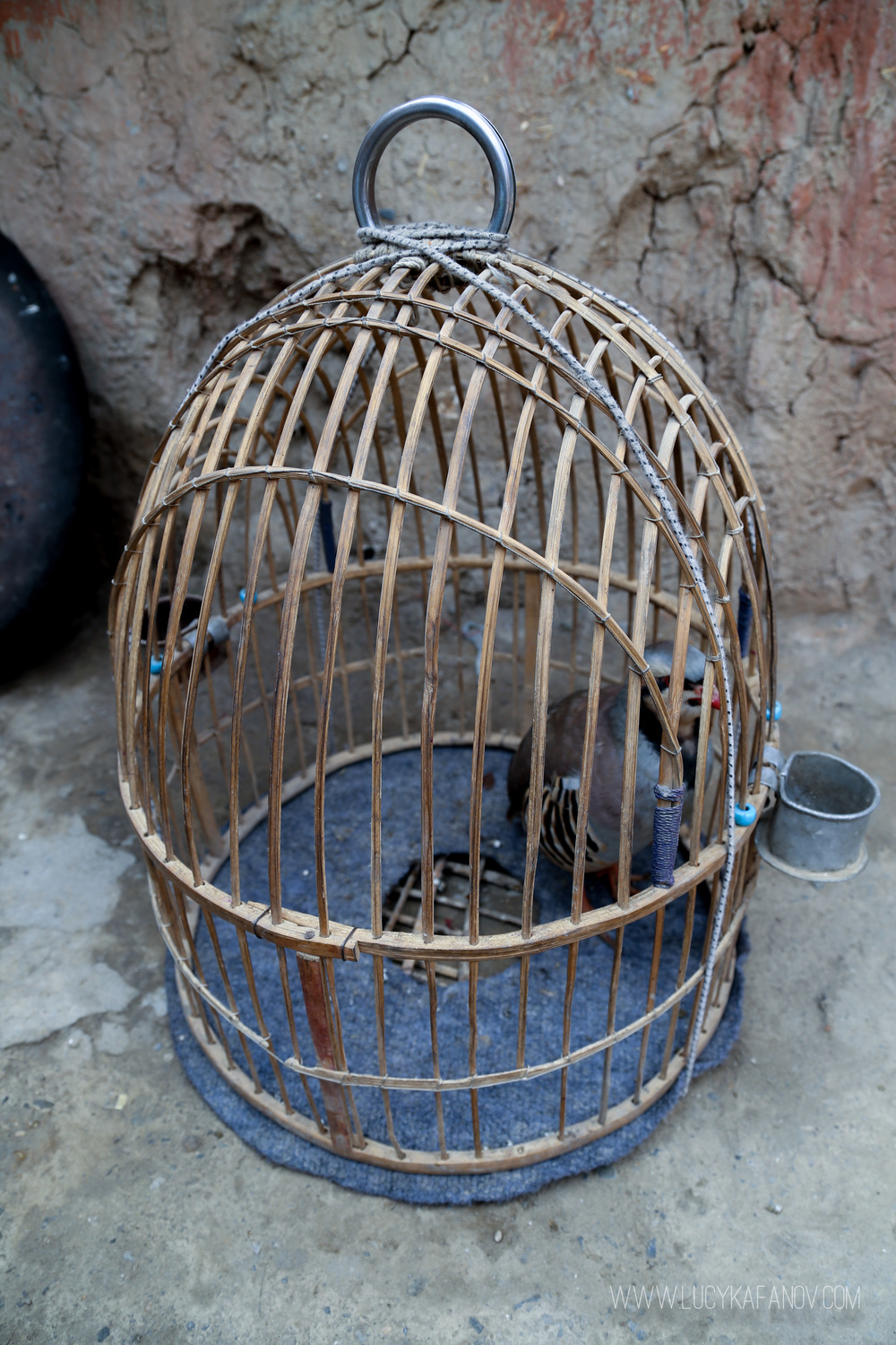 A fighting quail sits in its cage on the ground at an IDP camp in Kabul.