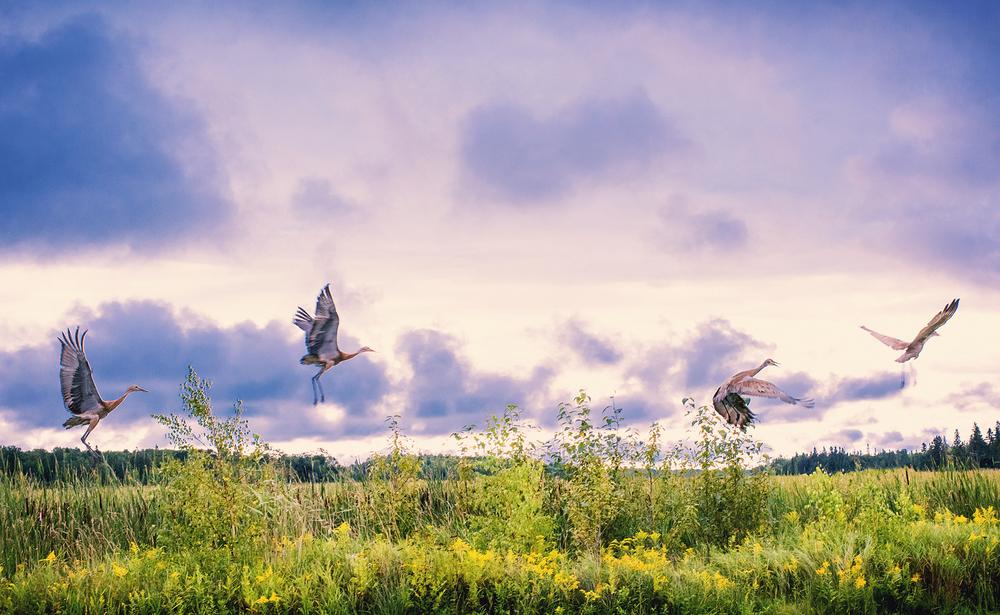 CedarvilleCranes-APW.jpg