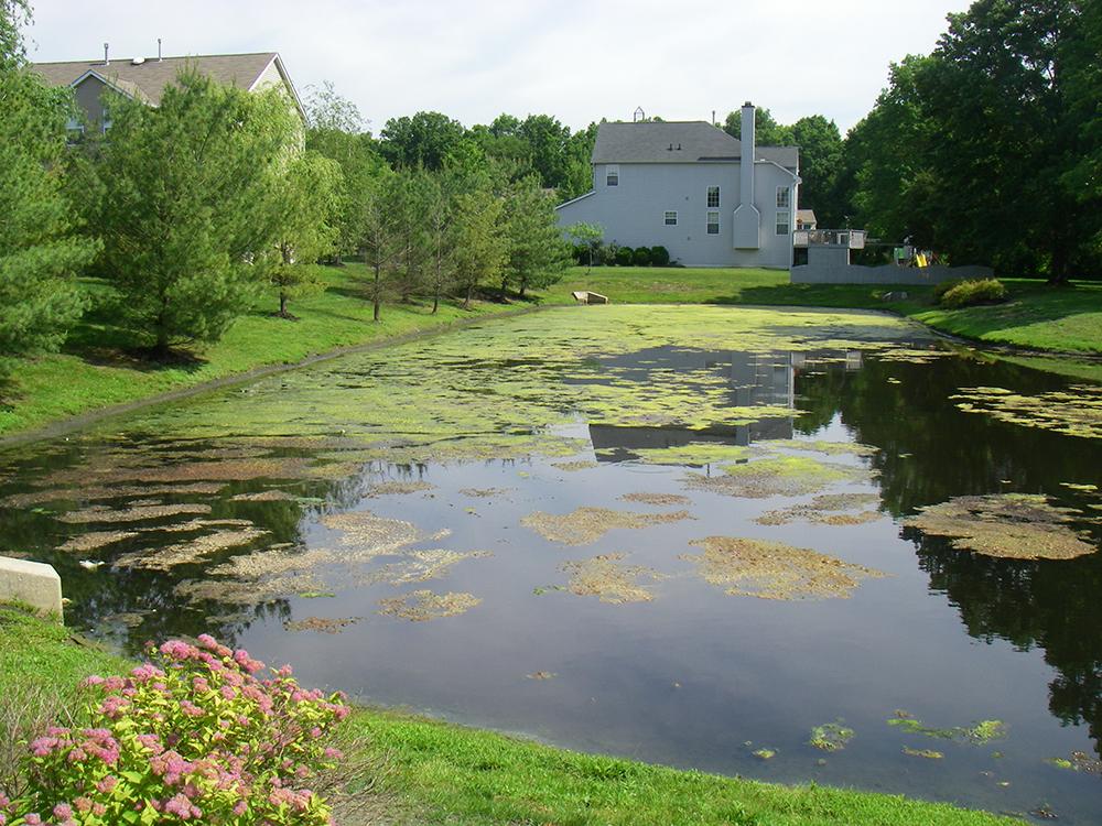 algae bloom in pond