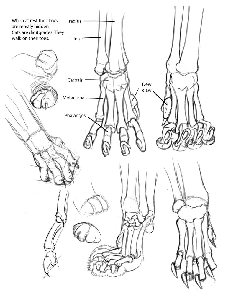 Rina-Rozsas-cat-anatomy-feet.jpg