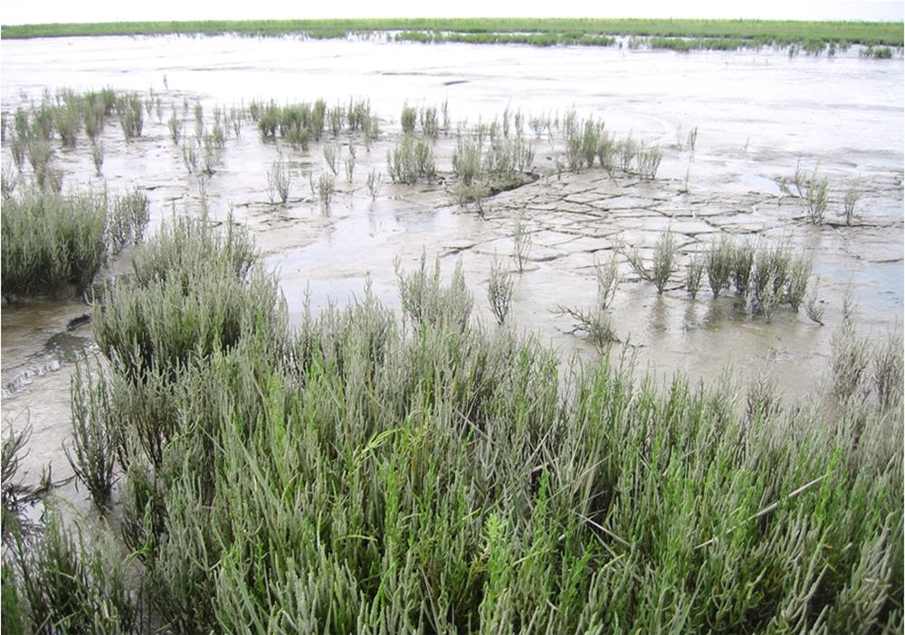 Langs de kust bij Wilhelmshaven groeit Zeeraket, een zilte groente die heerlijk smaakt.