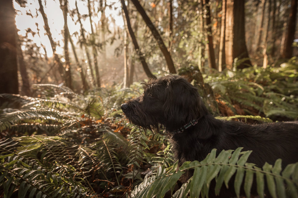 dog in the ferns and woods | amy selleck photography | amyselleck.com
