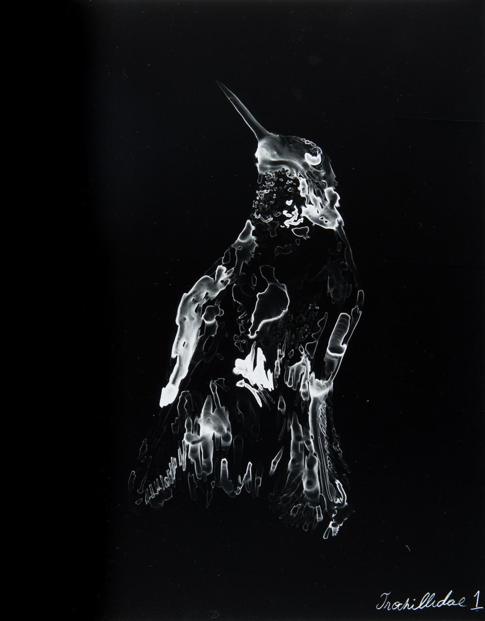 Trochillidae 1  2013 Cliché-verre print, 14 x 11 inches