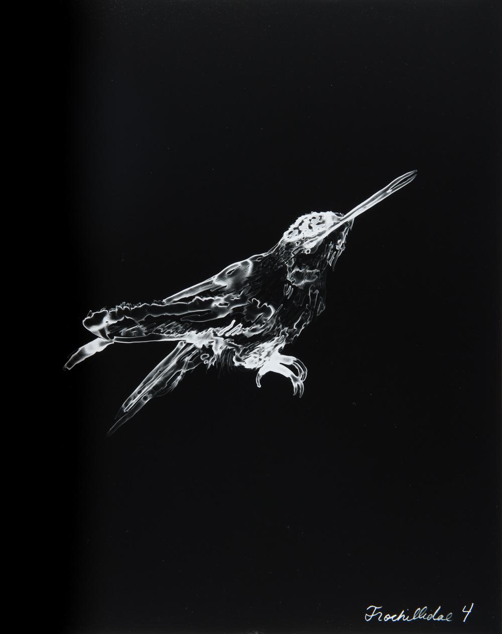 Trochillidae 4  2013 Cliché-verre print, 14 x 11 inches