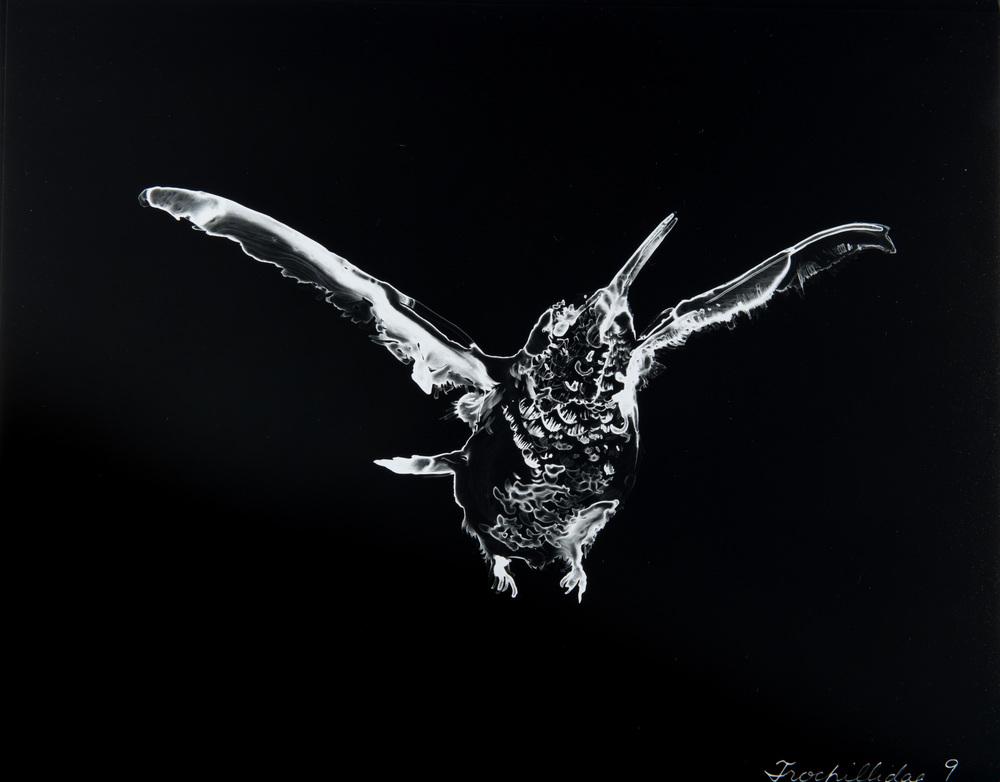 Trochillidae 9  2013 Cliché-verre print, 14 x 11 inches