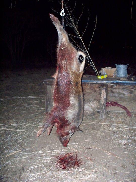 250 lb Boar