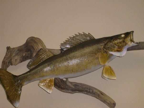 30 inch walleye