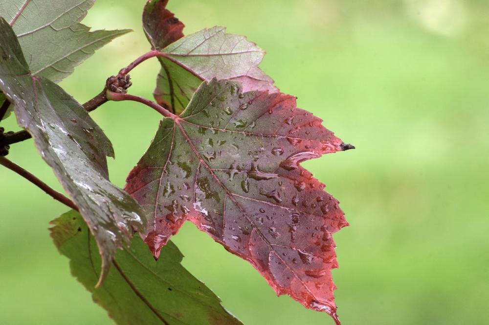 Fall Leaves after Rain (Vivitar 70-200 F4.5)