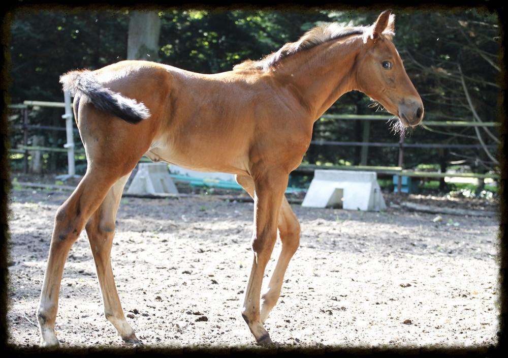 FRIDAY TREIZE (Diamant de Sémilly x Baloubet du Rouet) -  Foal de Sydney une Prince