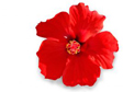 _hibiscus_flower 1.jpg