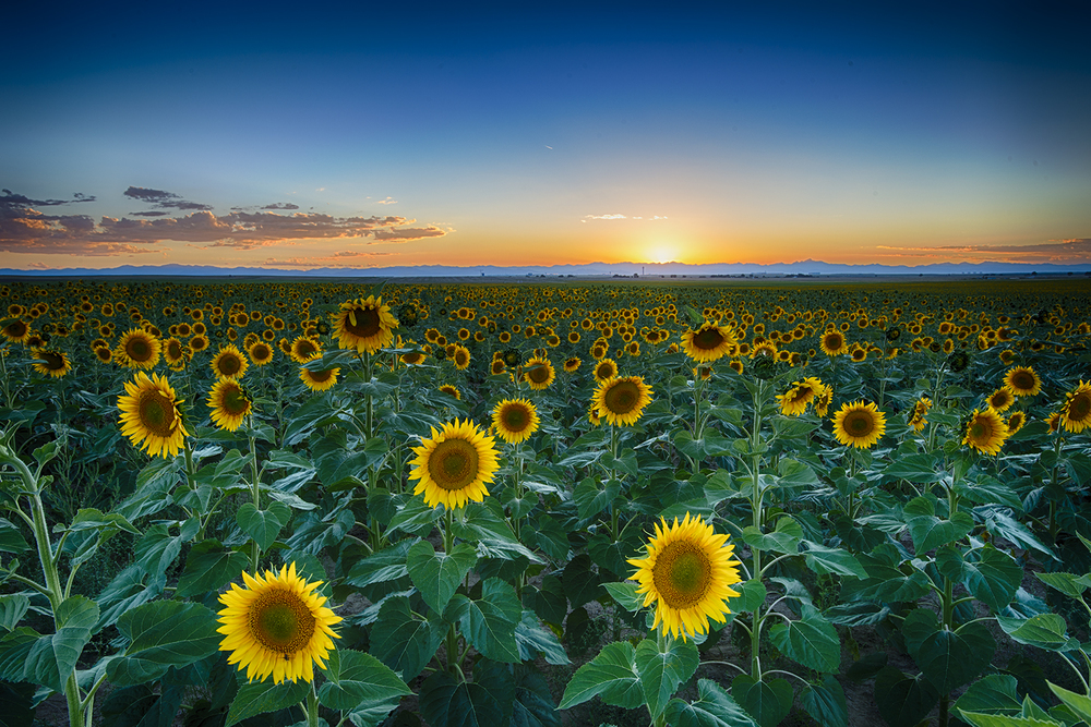 """Sunflower Sunset"""