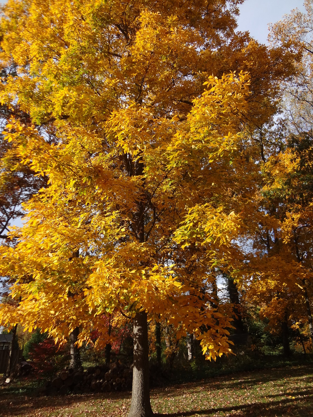 The Beautiful Hickory in it's Autumn Brilliance