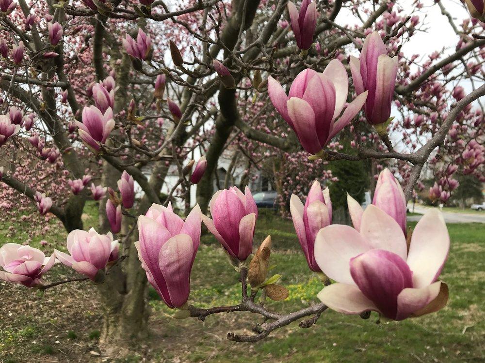 Saucer Magnolias - Intreegue Design