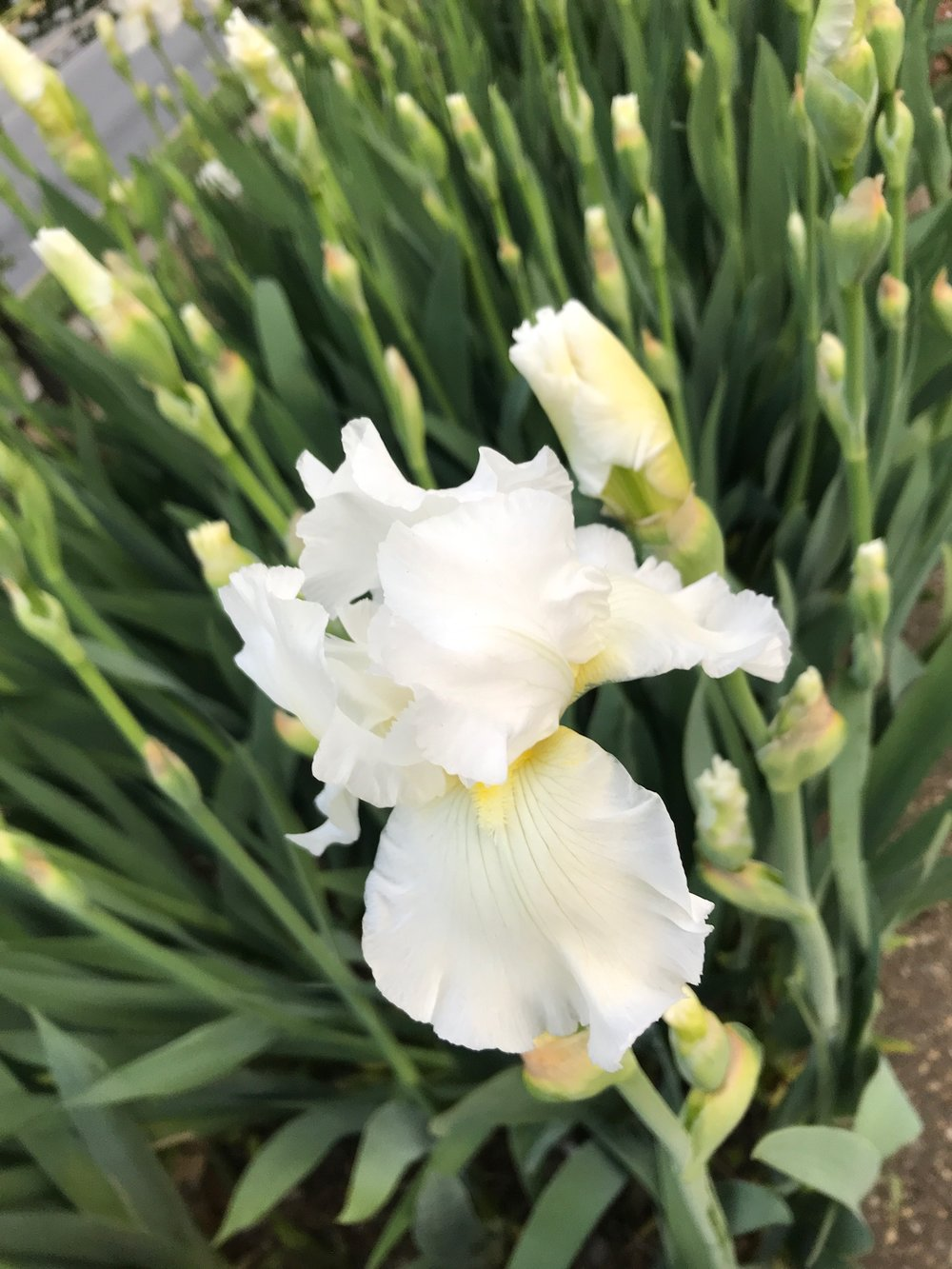 Country Cork Bearded Iris