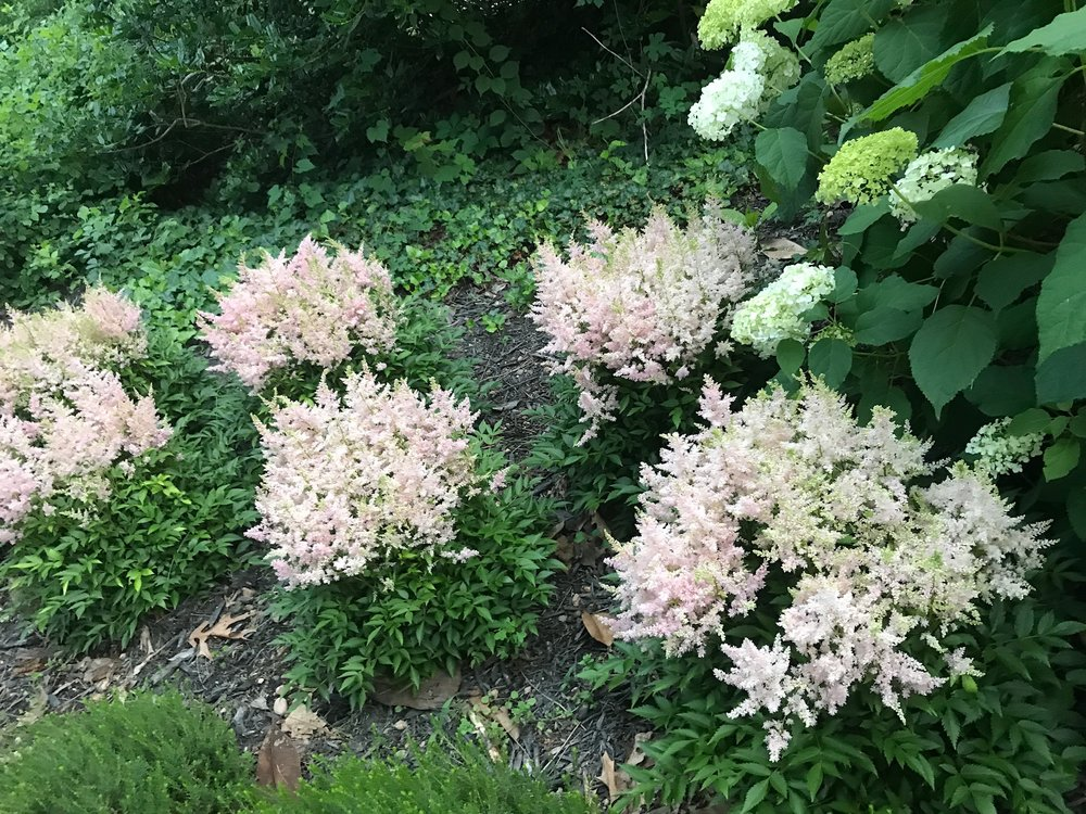 Astilbe Younique 'Silvery Pink'