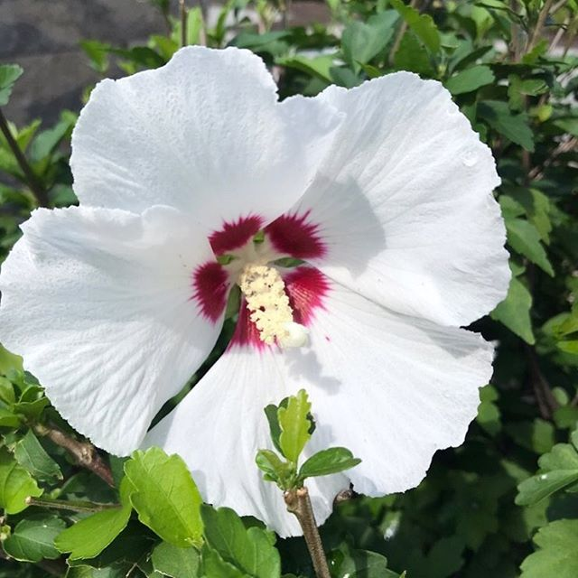 It's a white hot summer with these striking white blooms we saw on recent project sites. The beautiful hibiscus does not disappoint! It's from the Luna series of hibiscus and shows well as a specimen shrub. #intreeguedesign #blooms #summer #hibiscus #whatsblooming #tropical #greenery