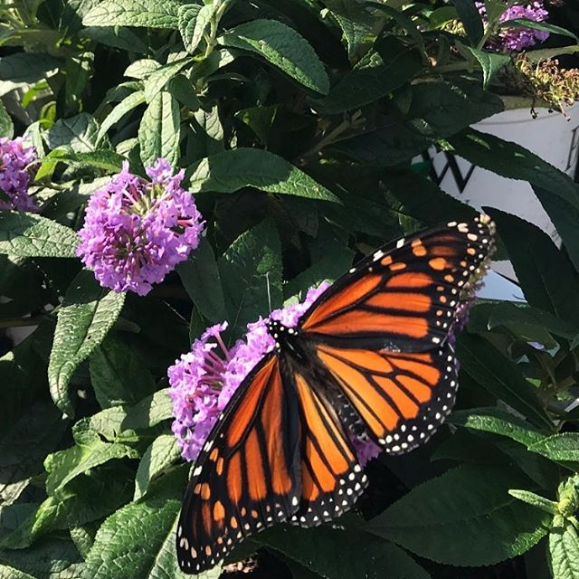 Gorgeous Monarch spotted today on a site visit!