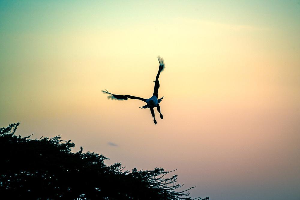 Fischadler in der Abenddämmerung am Lake Awassa - Äthiopien