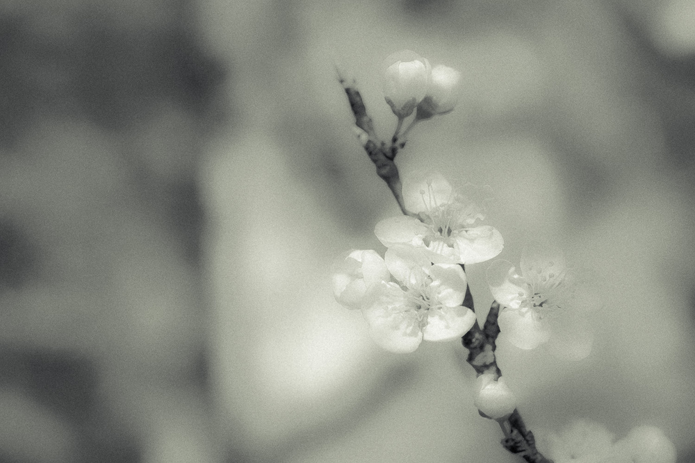 Kirschblüte-006.jpg