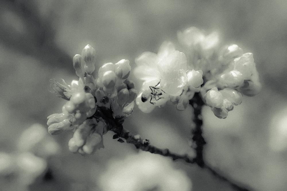 Kirschblüte-010.jpg