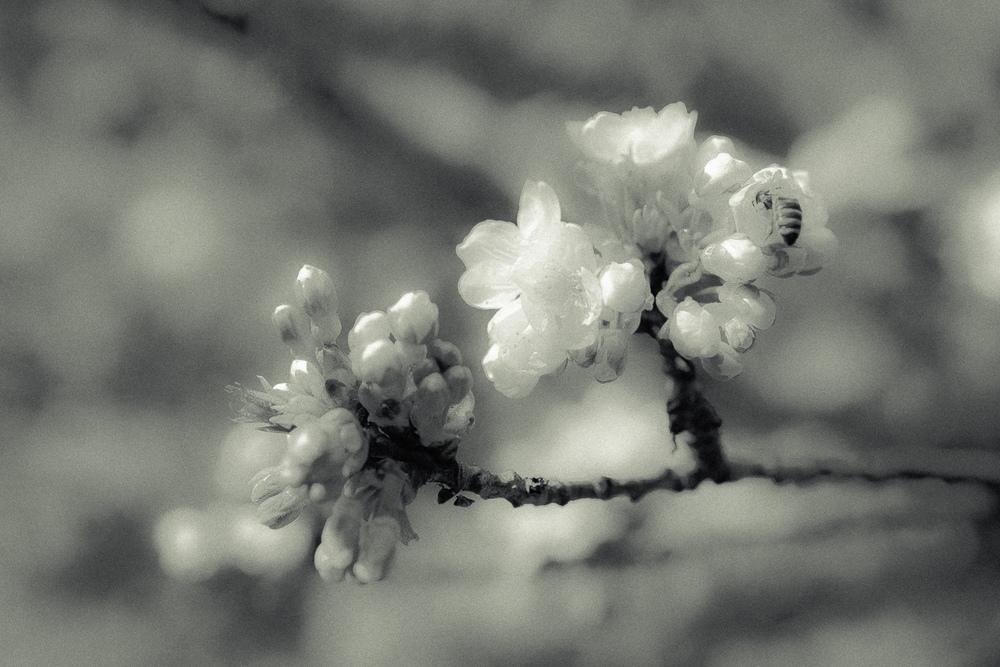 Kirschblüte-009.jpg