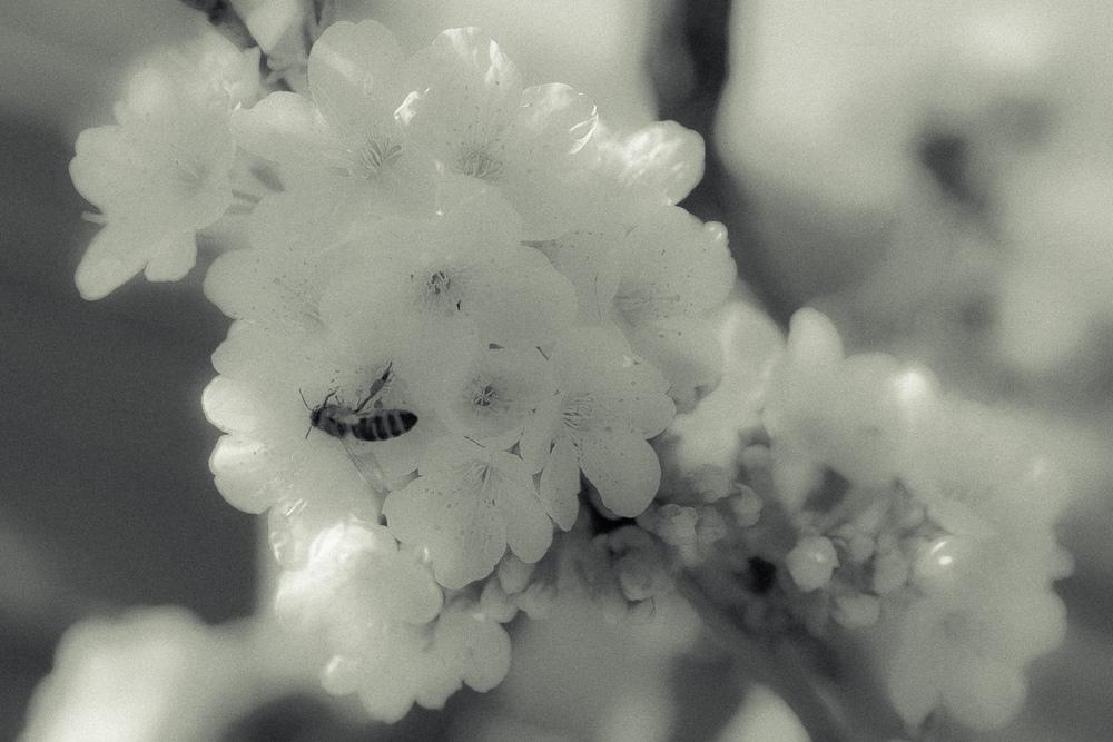 Kirschblüte-012.jpg