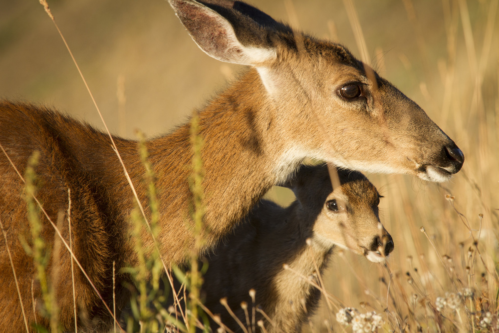 Sitka Black-Tailed Deer  ( Odocoileus hemionus sitkensis )  Washington State