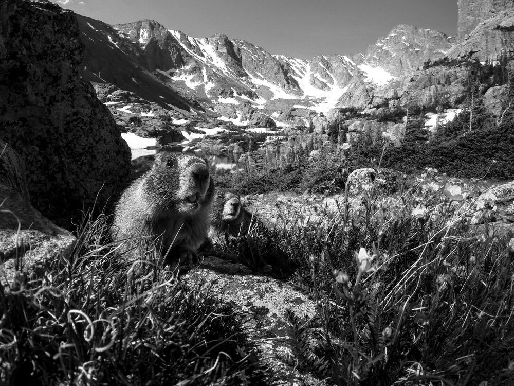 Yellow-Bellied Marmot  ( Marmota flaviventris )  Rocky Mountain National Park, Colorado